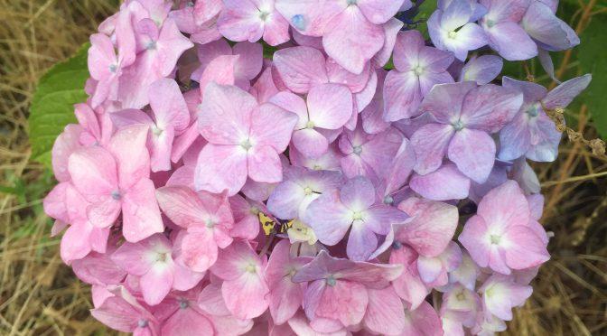 今年も紫陽花の花が咲いたのでご紹介