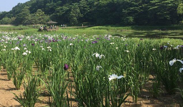 別府市の神楽女湖に行って花しょうぶを見てきた