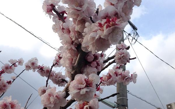梅の花が綺麗に咲いて美しかった