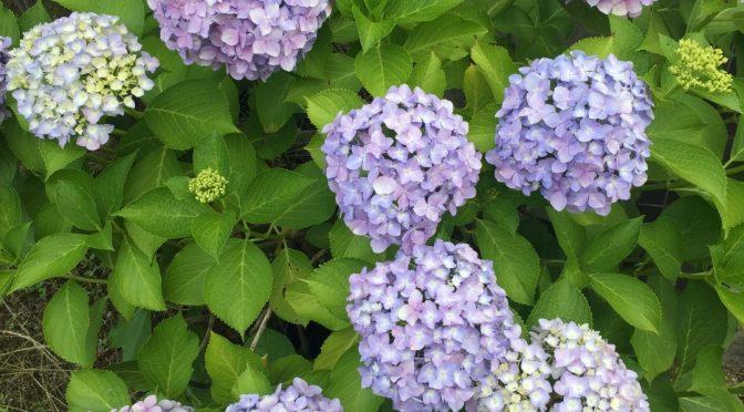 今年も咲くといいのだけど、、、紫陽花の花