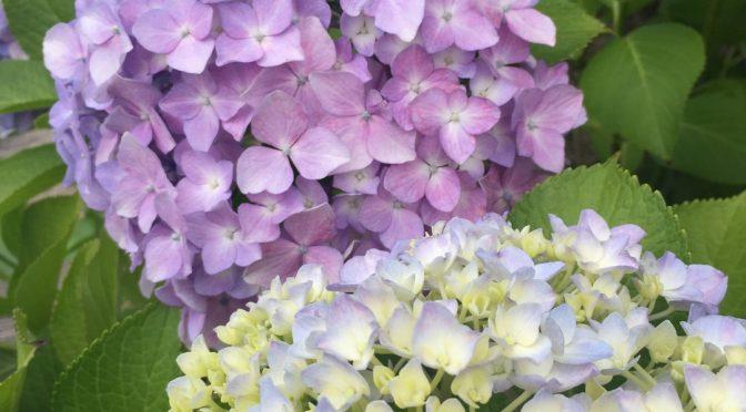 やーやっと落ち着きつつあります。で紫陽花咲きました。