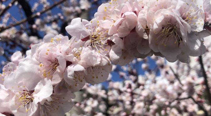 梅の花が満開、紫陽花もつぼみの状態